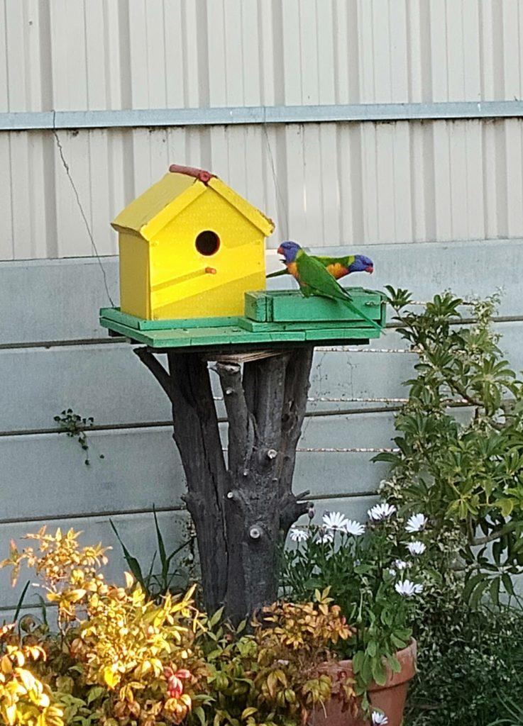庭にくる鳥レインボーロリキート(Rainbow Lorikeets)