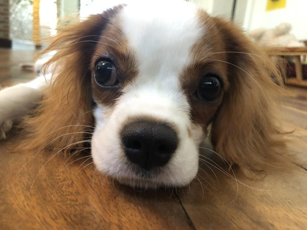 スーパーマルチリンガル犬